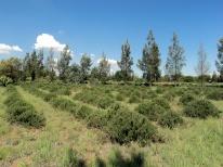 Rosemary fields